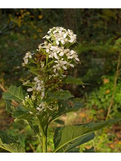 Verbesina virginica (Frostweed) | NPIN Seed Bank, Plant Images, University Of Texas, Fall Plants, Plant Sale, Portrait Shots, Native Plants, Gardening Tips, Wild Flowers