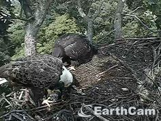 Check out Eagle Cam in Washington, DC, United States. http://www.earthcam.com/usa/dc/eagle/ June 24 Mom is really hungry.  I think baby is too.