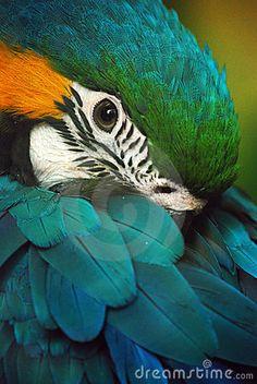 gold macaw (Ara ararauna)