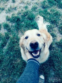 Cute golden retriever smile ❤