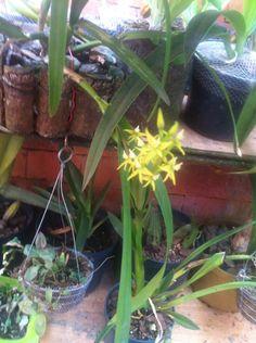 Orquídea Animart+plants