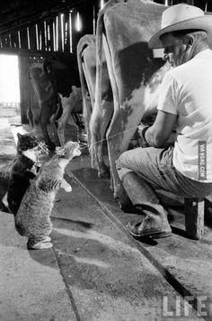 Cat drinks milk directly from cow