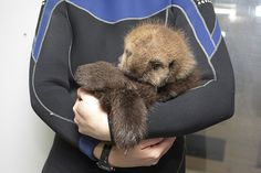 Cuddles for sea otter pup 681 - November 23, 2014 - More at today's Daily Otter post: http://dailyotter.org/2014/11/23/cuddles-for-sea-otter-pup-681/ !