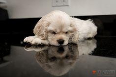 Gus, my American Cocker Spaniel Puppy www.silvergus.com