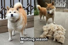Taking your dog's temperature may seem silly at first but it is important as it is one of the best ways to tell if your dog is feeling under the weather. Cute Funny Animals, Funny Animal Pictures, Dog Pictures, Funny Dogs, Pet Dogs, Dog Cat, Doggies, Inu Yasha, Hachiko