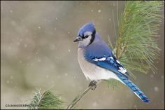 http://www.gschneiderphoto.com/gallery3/var/albums/birds/corvids/bluejay/blue-jay-winter-5893.jpg?m=1292890349