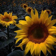 Sunflower Alentejo, Portugal.  www.casanaaldeia.com