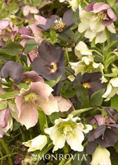 Monrovia's Royal Heritage™ Strain Lenten Rose details and information. Learn more about Monrovia plants and best practices for best possible plant performance.
