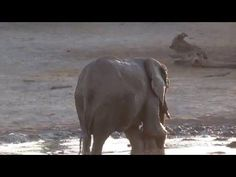 Tiny Baby Elephant Gleefully Rolls Around in the Mud While His Mother Tries to Urge Him Out