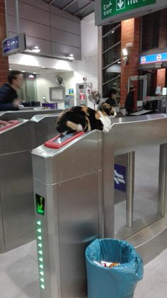 So the train station in my city has a cat. And Its adorable. by cat_7 cats kitten catsonweb cute adorable funny sleepy animals nature kitty cutie ca
