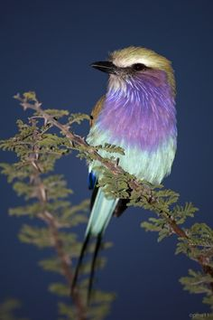 Lilac-breasted Roller -- such awesome color!  <3<3<3