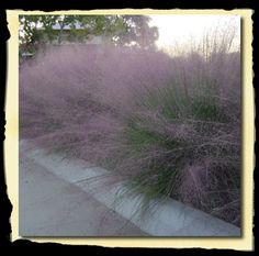 Absolutely one of the most beautiful ornamental grasses around. A North American native and more importantly a Texas Native Plant! Blue/green needle like foliage, giving it a stiff upright growth habit. Puts on a real show in fall with purple cloud-like flowers. Tolerant to dry and wet conditions.