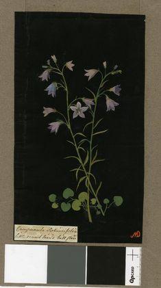 Campanula Rotundifolia (Tentandria Monogynia), from an album (Vol. Nature Illustration, Botanical Illustration, Botanical Drawings, Botanical Prints, Vintage Prints, Vintage Art, Paper Artwork, Collage Artists, Print Artist