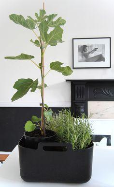 Via Ollie & Sebs Haus | Fig Plant | Black and White