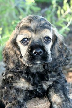 Love this little one (sable) cocker spaniel puppy dogs - dog tmb Baby Dogs, Pet Dogs, Dog Cat, Doggies, American Cocker Spaniel, Cocker Spaniel Puppies, Beautiful Dogs, Animals Beautiful, Cute Animals