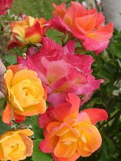 Climbing Peace Rose