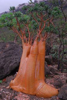 Adenium obesum socotranum a. Socotra desert or bottle tree.