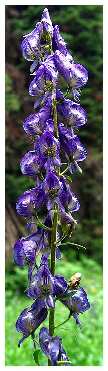 Columbia Monkshood by Steve, Katherine, and Norah Trees And Shrubs, Wildflowers, Beautiful Gardens, Flower Power, Columbia, How To Look Better, Places To Visit, Nature, Plants