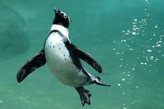 Penguins are amazing swimmers. All cuddly and waddly on land, all business in water like bullets.