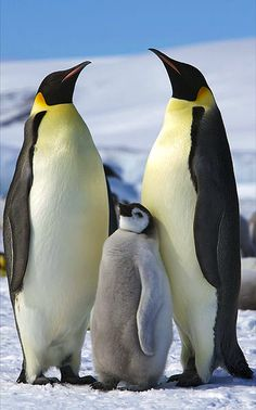 Two adult Emperor Penguins with a juvenile on Snow Hill Island, Antarctica.(Twee keizerspinguïns met hun jong)