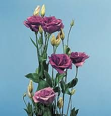 Image result for lisianthus buds