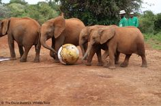 Sheldrick Wildlife (@DSWT) | Twitter Baby orphans playing footy