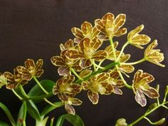 Grammatophyllums grow well in moderate light intensity. Morning sun is best, until about noon. Observation of the leaf structure can be...