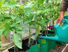 3 Лучших удобрения для помидоров в открытом грунте и теплице. | Любимая Дача | Яндекс Дзен