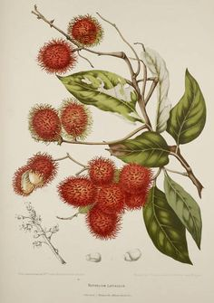 Plate from 'Fleurs, Fruits et Feuillages Choisis de l'Ile de Java' (Selected Flowers, Fruit and Foliage from the Island of Java). Date Author - Berthe Hoola van Nooten Botany Illustration, Science Illustration, Vintage Botanical Prints, Botanical Drawings, Botanical Flowers, Botanical Art, Botanical Gardens, Fruit Painting, Plant Drawing