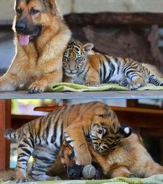 Adorable Baby Tiger Cub playing with a German Shepherd Dog - Unlikely…