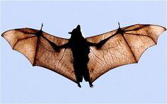 Bridges too far? The bat crossings - Telegraph Kids Events, Creative Thinking, Beautiful Creatures, Ranger, Bats, Building Bridges, Sprites, Aurora, Colorado