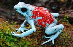 The harlequin poison frog (Oophaga histrionica) is a highly variable species of poison dart frog with a native range in Ecuador and Colombia. The frog is normally found on the ground of tropical rain forests, among fallen limbs or leaf litter. The male and female have a complex courtship ritual, which includes a 2 to 3 hour long sequence of various sitting, bowing (only done by the female), crouching, touching, and circling behaviors. Photo credit Alonso Quevedo Gil / Fundación ProAves