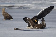 https://flic.kr/p/QzAVWh | Japan | Japan. Steller's sea eagles fighting at Lake Furen. There is a white tailed eagle in the background looking on.