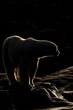 Polarbear @ Whiteisland, Norway - by Per Ottar Walderhaug