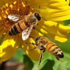 COMO RECOLECTAN NÉCTAR LAS ABEJAS - HOW TO COLLECT NECTAR BEES. (SPANISH - ENGLISH)