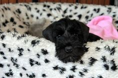 Black Schnauzer, Giant Schnauzer, Schnauzer Dogs, Miniature Schnauzer, Schnauzers, Border Terrier, Mans Best Friend, Puppy Love, Best Dogs