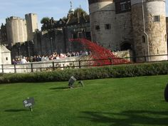 poppies - 31 October 2014