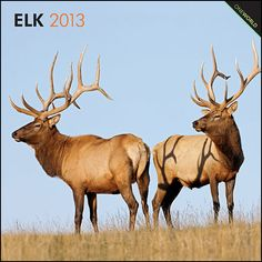 Elk Wall Calendar: A bull elk can weigh up to 1,100 pounds! Because they are so big, because they can be prey for certain predators, and because they love to roam, elk require huge swathes of land as habitat.  $14.99  http://calendars.com/Wildlife/Elk-2013-Wall-Calendar/prod201300004453/?categoryId=cat00347=cat00347#