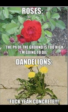 Dandelions...   funny pictures