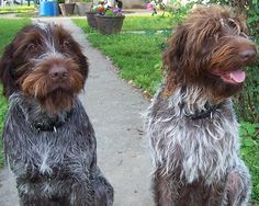 French Wire Haired Korthals Pointing Griffon