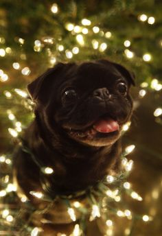 A lovely Christmas photo of a darling Pug. PP: Christmas tree pug.we all know what went down at the last holiday photo shoot Lawson Baby Animals, Funny Animals, Cute Animals, Pug Christmas, Christmas Lights, Pugs And Kisses, Black Pug, Cute Pugs, Funny Pugs