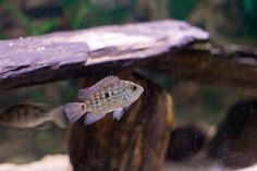 The colors and patterns of New World Cichlids are highly varied from one species to another.