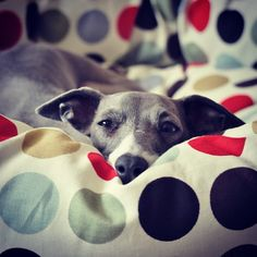 I heard it was Friday. Greyhound Breed, Italian Greyhound Dog, Whippet Puppies, Dogs And Puppies, Whippets, Doggies, I Love Dogs, Cute Dogs, Puppy Pictures