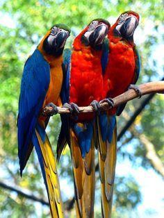 Brésil - Iguaçu - Parque das Aves - Parc aux oiseaux https://picsandtrips.wordpress.com/2015/01/31/iguacu-parque-das-aves-cote-bresilien/