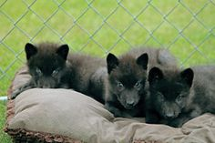 British Columbian Wolf Pups at the Lakota Wolf Preserve, North Jersey Wolf Pup, Preserve, Wolves, Animals Beautiful, Legends, Fox, British, Inspirational, Garden
