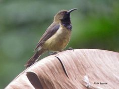 The Príncipe Sunbird (Anabathmis hartlaubii) is a species of bird in the Nectariniidae family. It is endemic to São Tomé and Príncipe.