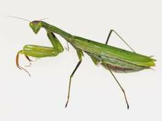 Family: Mantodea-Mantids (H) Common Name: Praying Mantis  Description: 2-2 1/2 in. including wings. Color will range from green to tan  Habitat/Ecology: Live in meadows on foliage and flowers. Lay eggs on twigs above snow during winter which hatch in the late summer.  Economic/health importance: Accidentally introduced in 1899 from Europe. They were found useful for pest control as predators to Gypsy Moth Caterpillars, however mantids are so cannibalistic that they didn't have much impact.