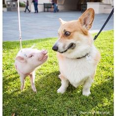 "A corgi meeting a baby pig. | 30 Photos That Will Make You Say ""Awww"""