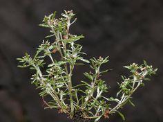Savijäkkärä, Gnaphalium uliginosum - Kukkakasvit - LuontoPortti Natural Beauty, Herbalism, Dandelion, Flora, Scenery, Garden, Nature, Plants, Life