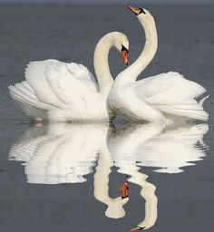 swan pair and reflection